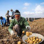 پیوستن سیب زمینی کاران نمین به رزمایش کمک مومنانه