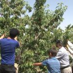 کار صلواتی بسیجیان جهادگر در مزارع